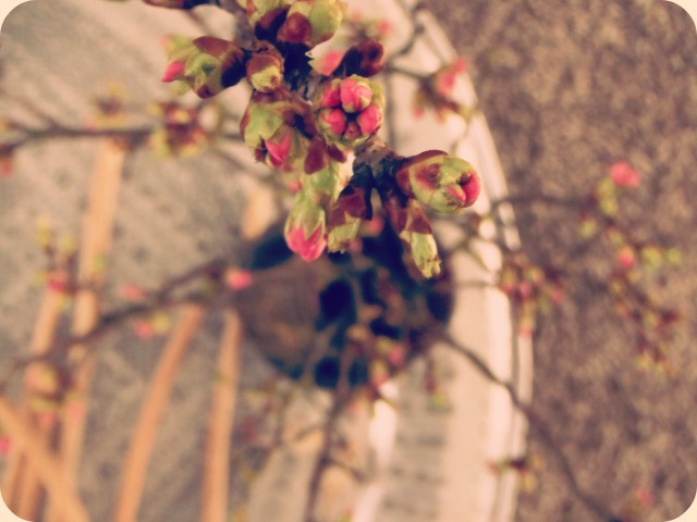 Kersenbloemen