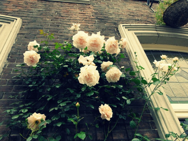 Roses near window
